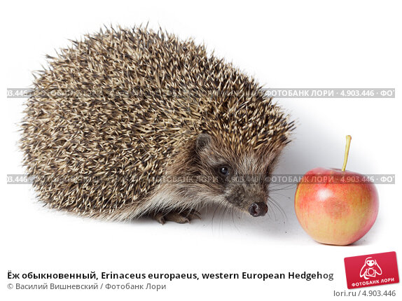 Купить «Ёж обыкновенный, Erinaceus europaeus, western European Hedgehog», фото № 4903446, снято 25 августа 2011 г. (c) Василий Вишневский / Фотобанк Лори