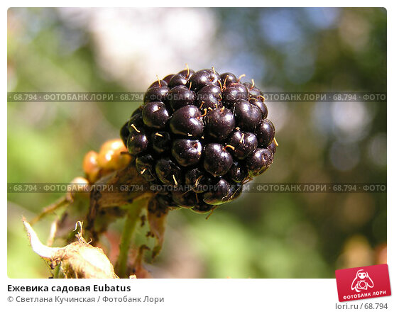 Ежевика садовая Eubatus, фото № 68794, снято 23 мая 2017 г. (c) Светлана Кучинская / Фотобанк Лори