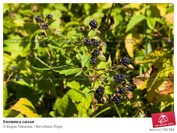 Ежевика сизая, фото № 130954, снято 17 августа 2007 г. (c) Борис Панасюк / Фотобанк Лори