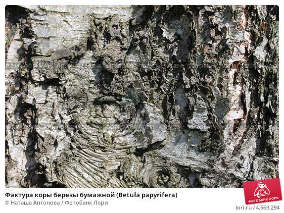Купить «Фактура коры березы бумажной (Betula papyrifera)», эксклюзивное фото № 4569294, снято 28 апреля 2013 г. (c) Ната Антонова / Фотобанк Лори
