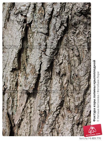 Купить «Фактура коры лапины крылоплодной», эксклюзивное фото № 4489770, снято 9 апреля 2013 г. (c) Ната Антонова / Фотобанк Лори