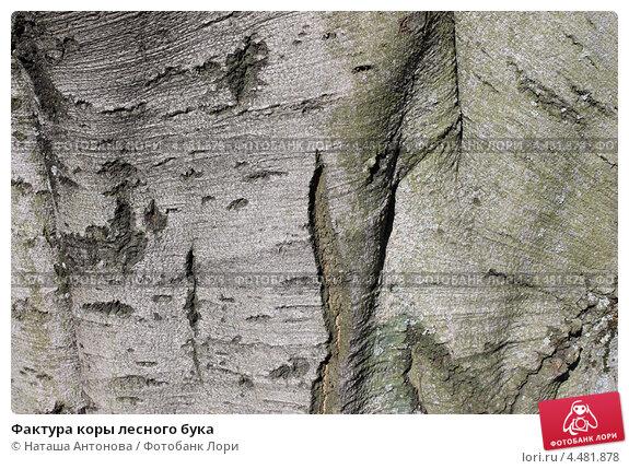 Купить «Фактура коры лесного бука», эксклюзивное фото № 4481878, снято 6 апреля 2013 г. (c) Ната Антонова / Фотобанк Лори