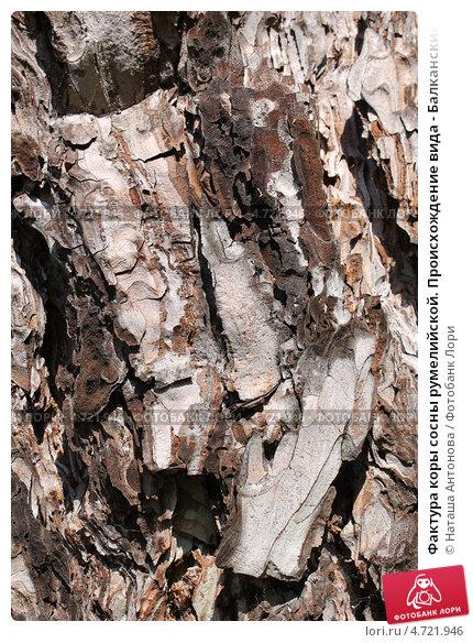 Купить «Фактура коры сосны румелийской. Происхождение вида - Балканский полуостров», эксклюзивное фото № 4721946, снято 3 июня 2013 г. (c) Ната Антонова / Фотобанк Лори