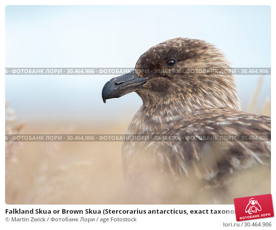 Falkland Skua or Brown Skua (Stercorarius antarcticus, exact taxonomy is under dispute). They are the great skuas of the southern polar and subpolar region. South America, Falkland Islands, January. Стоковое фото, фотограф Martin Zwick / age Fotostock / Фотобанк Лори