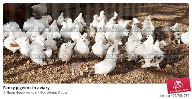 Купить «Fancy pigeons in aviary», фото № 29768730, снято 15 декабря 2018 г. (c) Яков Филимонов / Фотобанк Лори