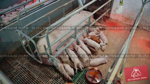Farm pig industry agriculture animal rural piglet. Стоковое видео, видеограф Mark Agnor / Фотобанк Лори