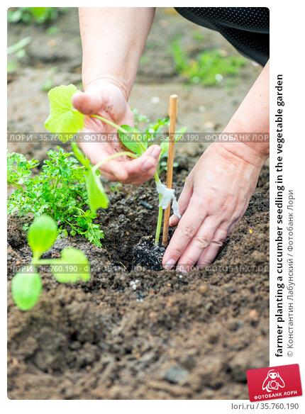 farmer planting a cucumber seedling in the vegetable garden. Стоковое фото, фотограф Константин Лабунский / Фотобанк Лори