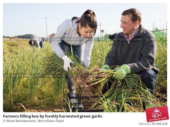 Farmers filling box by freshly harvested green garlic. Стоковое фото, фотограф Яков Филимонов / Фотобанк Лори