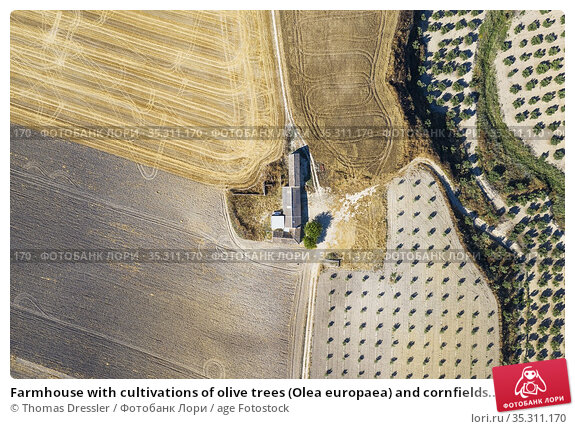 Farmhouse with cultivations of olive trees (Olea europaea) and cornfields... Стоковое фото, фотограф Thomas Dressler / age Fotostock / Фотобанк Лори