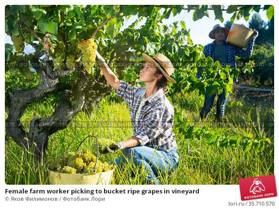 Female farm worker picking to bucket ripe grapes in vineyard. Стоковое фото, фотограф Яков Филимонов / Фотобанк Лори