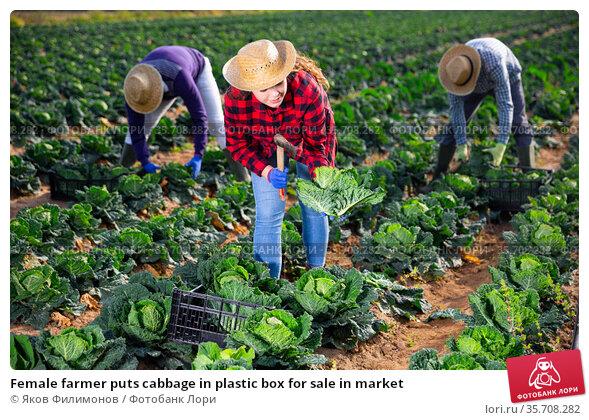 Female farmer puts cabbage in plastic box for sale in market. Стоковое фото, фотограф Яков Филимонов / Фотобанк Лори