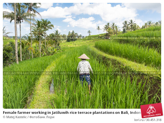 Female farmer working in Jatiluwih rice terrace plantations on Bali, Indonesia, south east Asia. Стоковое фото, фотограф Matej Kastelic / Фотобанк Лори