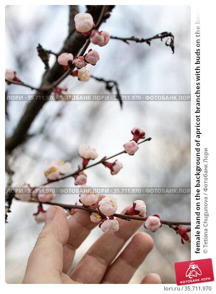 female hand on the background of apricot branches with buds on the background of the sky in blur. Стоковое фото, фотограф Tetiana Chugunova / Фотобанк Лори