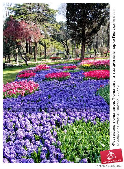 Фестиваль тюльпанов. Тюльпаны и  гиацинты в парке Гюльхане весной. Стамбул, Турция (2015 год). Стоковое фото, фотограф Илюхина Наталья / Фотобанк Лори