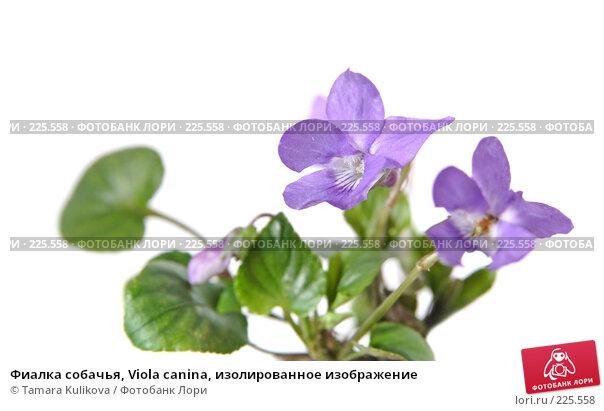 Фиалка собачья, Viola canina, изолированное изображение, фото № 225558, снято 17 марта 2008 г. (c) Tamara Kulikova / Фотобанк Лори