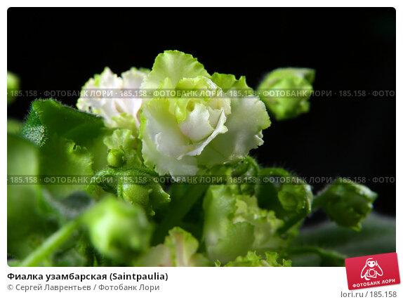 Фиалка узамбарская (Saintpaulia), фото № 185158, снято 26 октября 2007 г. (c) Сергей Лаврентьев / Фотобанк Лори