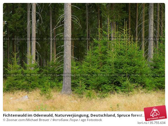Fichtenwald im Odenwald, Naturverjüngung, Deutschland, Spruce forest... Стоковое фото, фотограф Zoonar.com/Michael Breuer / age Fotostock / Фотобанк Лори