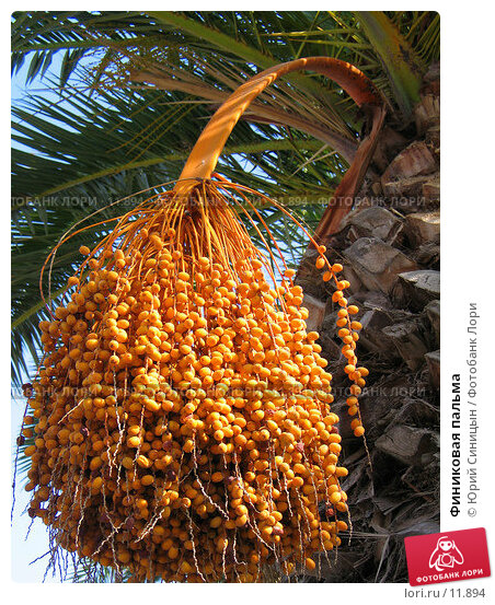Финиковая пальма, фото № 11894, снято 18 сентября 2006 г. (c) Юрий Синицын / Фотобанк Лори
