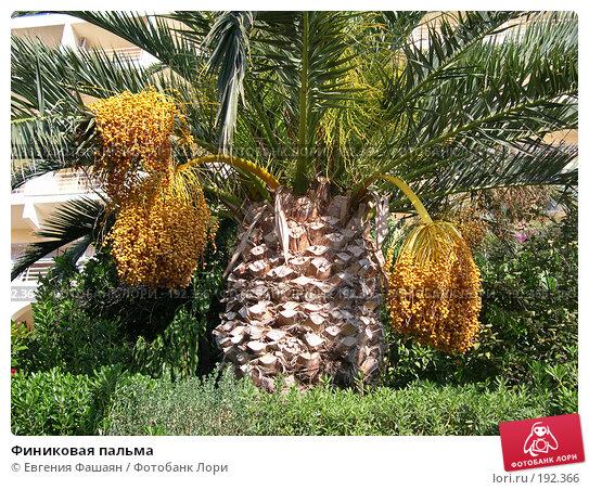 Финиковая пальма, фото № 192366, снято 27 октября 2005 г. (c) Евгения Фашаян / Фотобанк Лори