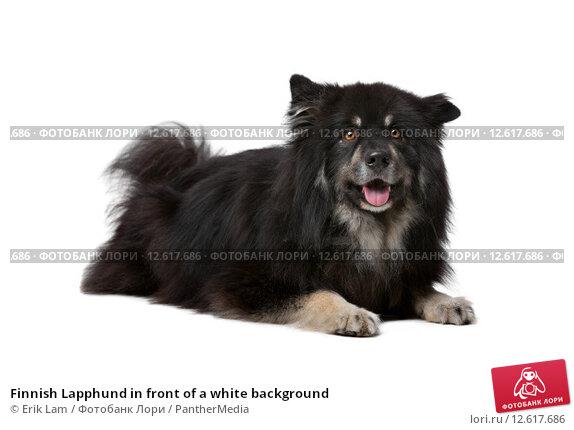 Купить «Finnish Lapphund in front of a white background», фото № 12617686, снято 22 сентября 2019 г. (c) PantherMedia / Фотобанк Лори