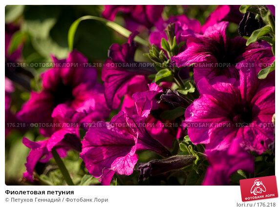 Фиолетовая петуния, фото № 176218, снято 24 июля 2007 г. (c) Петухов Геннадий / Фотобанк Лори