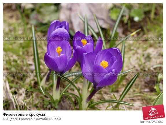 Фиолетовые крокусы, фото № 250682, снято 13 апреля 2008 г. (c) Андрей Ерофеев / Фотобанк Лори