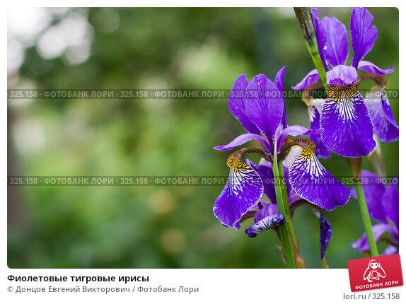 Фиолетовые тигровые ирисы, фото № 325158, снято 16 июня 2008 г. (c) Донцов Евгений Викторович / Фотобанк Лори