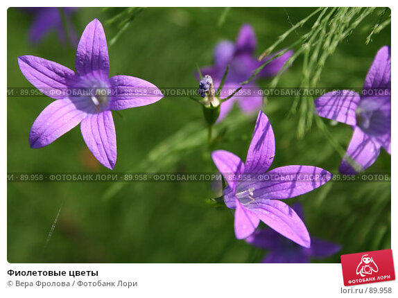 Фиолетовые цветы, фото № 89958, снято 17 июня 2007 г. (c) Вера Фролова / Фотобанк Лори