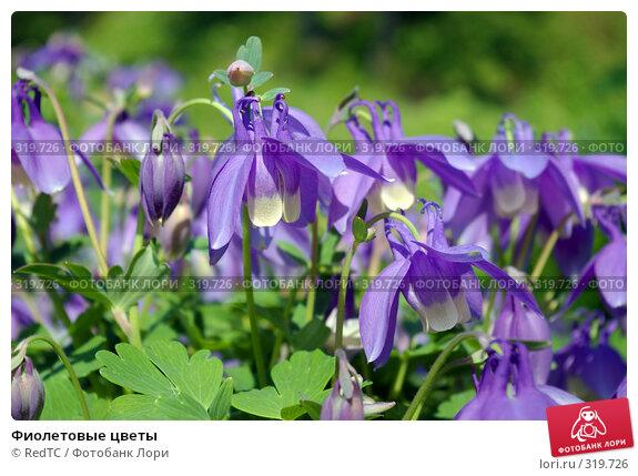 Фиолетовые цветы, фото № 319726, снято 9 июня 2008 г. (c) RedTC / Фотобанк Лори