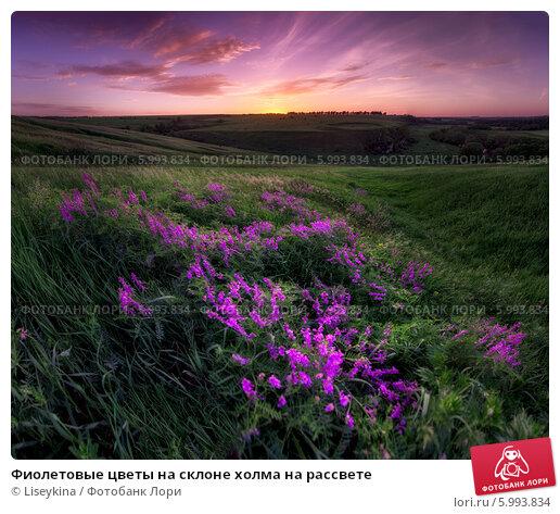 Фиолетовые цветы на склоне холма на рассвете. Стоковое фото, фотограф Liseykina / Фотобанк Лори