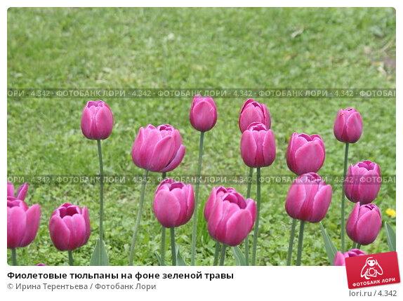 Фиолетовые тюльпаны на фоне зеленой травы, эксклюзивное фото № 4342, снято 29 мая 2006 г. (c) Ирина Терентьева / Фотобанк Лори