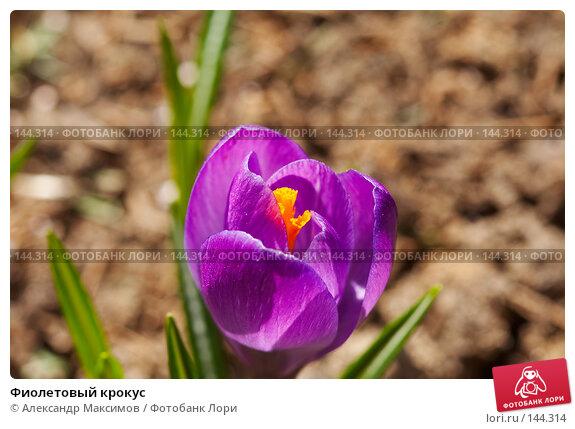 Фиолетовый крокус, фото № 144314, снято 1 апреля 2007 г. (c) Александр Максимов / Фотобанк Лори