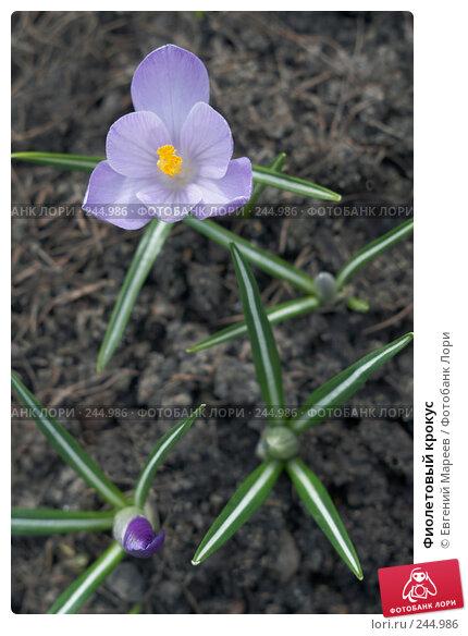 Фиолетовый крокус, фото № 244986, снято 7 апреля 2008 г. (c) Евгений Мареев / Фотобанк Лори
