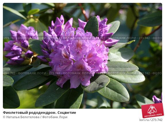 Фиолетовый рододендрон. Соцветие, фото № 273742, снято 3 мая 2008 г. (c) Наталья Белотелова / Фотобанк Лори