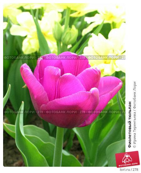 Фиолетовый тюльпан, эксклюзивное фото № 278, снято 11 мая 2004 г. (c) Ирина Терентьева / Фотобанк Лори