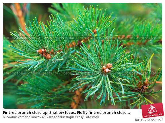 Fir tree brunch close up. Shallow focus. Fluffy fir tree brunch close... Стоковое фото, фотограф Zoonar.com/Ian Iankovskii / easy Fotostock / Фотобанк Лори