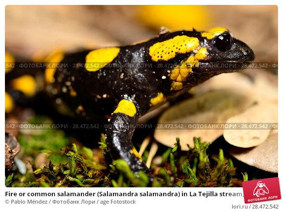 Купить «Fire or common salamander (Salamandra salamandra) in La Tejilla stream, Canencia, Madrid, Spain.», фото № 28472542, снято 12 ноября 2017 г. (c) age Fotostock / Фотобанк Лори