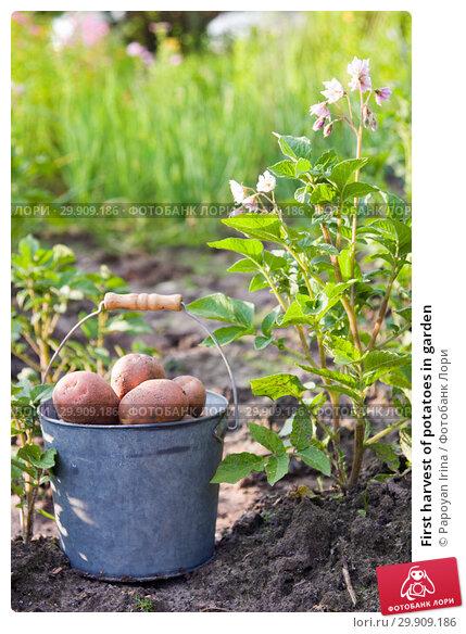 Купить «First harvest of potatoes in garden», фото № 29909186, снято 18 июля 2018 г. (c) Papoyan Irina / Фотобанк Лори