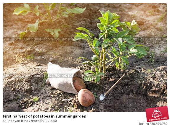 Купить «First harvest of potatoes in summer garden», фото № 30579750, снято 18 июля 2018 г. (c) Papoyan Irina / Фотобанк Лори