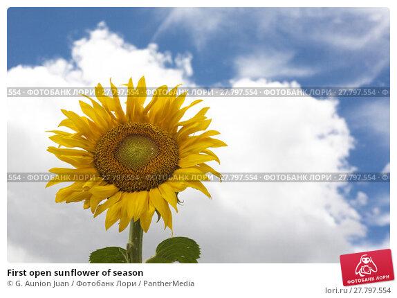 Купить «First open sunflower of season», фото № 27797554, снято 18 октября 2018 г. (c) PantherMedia / Фотобанк Лори