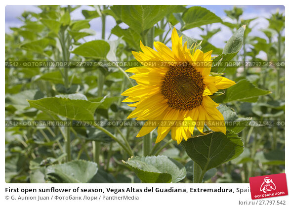 Купить «First open sunflower of season, Vegas Altas del Guadiana, Extremadura, Spain», фото № 27797542, снято 21 февраля 2018 г. (c) PantherMedia / Фотобанк Лори