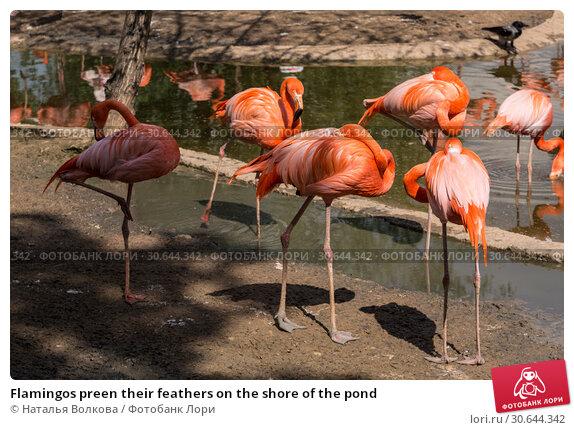 Купить «Flamingos preen their feathers on the shore of the pond», фото № 30644342, снято 26 мая 2016 г. (c) Наталья Волкова / Фотобанк Лори