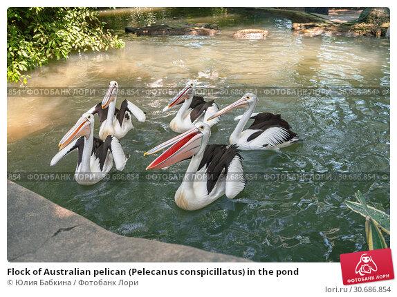 Купить «Flock of Australian pelican (Pelecanus conspicillatus) in the pond», фото № 30686854, снято 28 сентября 2010 г. (c) Юлия Бабкина / Фотобанк Лори