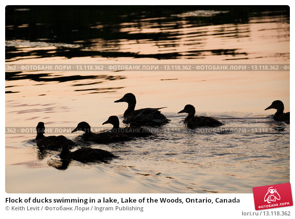 Купить «Flock of ducks swimming in a lake, Lake of the Woods, Ontario, Canada», фото № 13118362, снято 2 августа 2014 г. (c) Ingram Publishing / Фотобанк Лори
