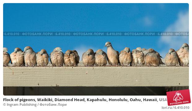 Купить «Flock of pigeons, Waikiki, Diamond Head, Kapahulu, Honolulu, Oahu, Hawaii, USA», фото № 6410010, снято 4 февраля 2013 г. (c) Ingram Publishing / Фотобанк Лори