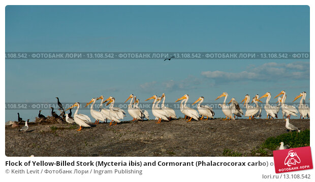 Купить «Flock of Yellow-Billed Stork (Mycteria ibis) and Cormorant (Phalacrocorax carbo) on coast, Lake of the Woods, Ontario, Canada», фото № 13108542, снято 22 июня 2014 г. (c) Ingram Publishing / Фотобанк Лори