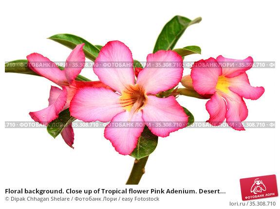 Floral background. Close up of Tropical flower Pink Adenium. Desert... Стоковое фото, фотограф Dipak Chhagan Shelare / easy Fotostock / Фотобанк Лори