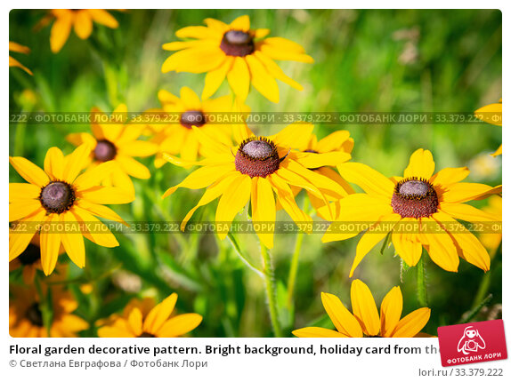 Купить «Floral garden decorative pattern. Bright background, holiday card from the buds of blooming yellow echinacea. Perennial medicinal perennial cultivated plant of the rudbeckia of the astrov family», фото № 33379222, снято 19 июня 2019 г. (c) Светлана Евграфова / Фотобанк Лори