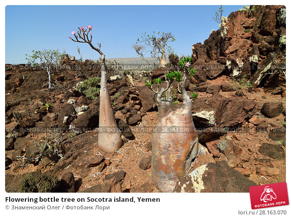 Купить «Flowering bottle tree on Socotra island, Yemen», фото № 28163070, снято 9 марта 2010 г. (c) Знаменский Олег / Фотобанк Лори
