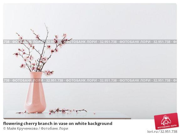 flowering cherry branch in vase on white background. Стоковое фото, фотограф Майя Крученкова / Фотобанк Лори